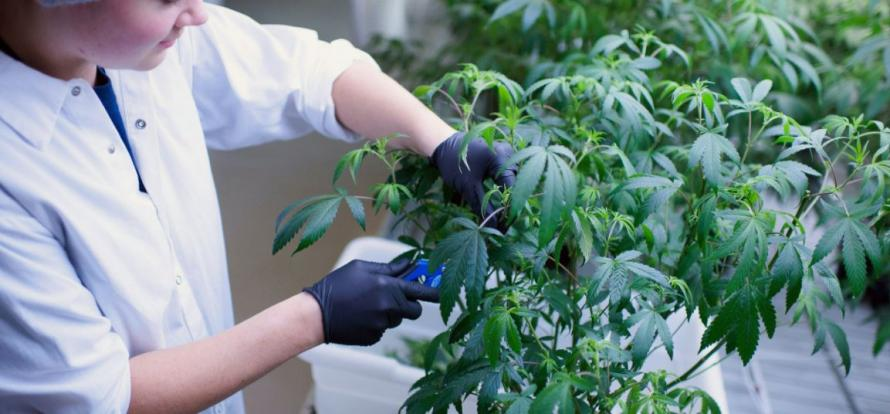 An employee makes cuttings from marijuana plants at the Tweed Inc. facility.