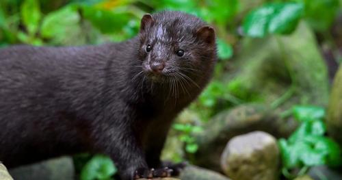 Utah Mink First Wild Animal In US To Test Positive For Mutated Coronavirus | ZeroHedge